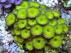 NUCLEAR GREEN Palythoa Zoanthid Chalice Acan Zoas Live Coral Saltwater Aquarium