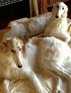 Beautiful Dogs, Animals Beautiful, I Love Dogs, Cute Dogs, Borzoi Dog, Whippets, Animals And Pets, Cute Animals, Russian Wolfhound