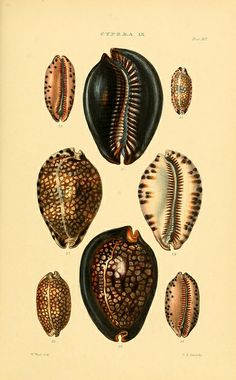 Illustration of shells by Biodiversity Heritage Library