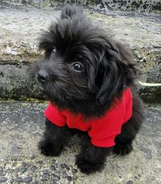18 Best Black Yorkie Poo Images Cute Puppies Yorkie Poo Puppies