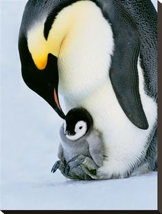 Emperor Penguin with Chick on Feet, Weddell Sea, Antarctica Photographic Print by Frans Lanting at AllPosters.com