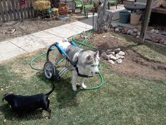 Narconi in his wheelchair. This poor dog was living in the streets in Taiwan until he was rescued. Paralyzed Dog, Different Types Of Dogs, Dog Wheelchair, Homeless Dogs, Street Dogs, Poor Dog, Wheelchairs, Dog Travel, Dog Photos