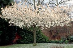 Prunus subhirtella 'Autumnalis' D. H8W4. Any soil. Prune April-July due to silver leaf.