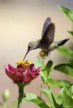 Hummingbird~ I like these little birds. I've had them come up to me as I water ~it's amazing~ then come the butterflys!