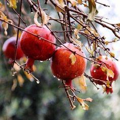Gardening Hacks That Anyone Can Use Botanical Art, Botanical Illustration, Photo Fruit, Pomegranate Art, Fruit Photography, Fruit Painting, Still Life Photos, Seed Pods, Fruit And Veg
