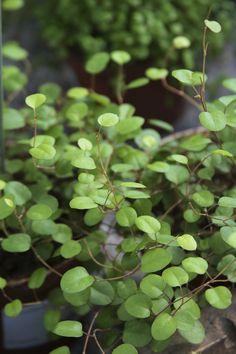 Sliderranka - Muehlenbeckia http://www.blomsterlandet.se/Sortiment/Inne/Krukvaxter/Gronvaxter/Slideranka/?query=sliderran=Sortiment-general