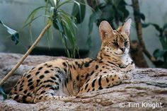 Serval Cats: Beautiful, Big, Wild Serval Cat Photograph brought to you by HDW Enterprises & Foothill Felines (domestic Bengal Cat breeder. Bengal Cat Breeders, Serval Cats, Caracal, Ocelot, Jungle Animals, Nature Animals, Wild Animals, Lynx, Big Cat Family