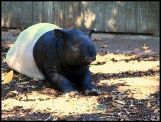 Malayan tapir at the Adelaide Zoo