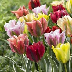 Tulip Viridiflora AssortedViridiflora tulips take their name from the green streaks that highlight each petal. Their delicate shape and unusual colors complement other spring flowers, both in the garden and in bouquets. Viridifloras bloom late in .