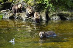 Mother Grizzly Bear and Cubs in Knight Inlet, British Columbia, Canada.