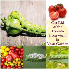 The Homestead Survival | Get Rid of the Tomato Hornworm in Your Garden | http://thehomesteadsurvival.com