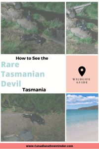 If you are heading to Tasmania then seeing a Tasmanian Devil needs to be on your bucket list! These cute marsupials are going extinct in the wild. Find out how to see one on your trip. Real Life Zombies, Tasmania Travel, Tasmanian Devil, Wildlife Park, Extinct, Travel Guides, Fun Facts, Bucket, How To Plan