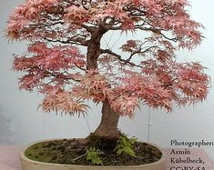 Plants and edibles Bonsai Soil, Bonsai Seeds, Tree Seeds, Bonsai Plants, Air Plants, Weeping Cherry Tree, Weeping Willow, Willow Tree, Cherry Bonsai