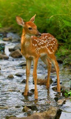 """"""" source Young deer"""""""