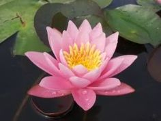 Hardy Water Lily Pink Beauty