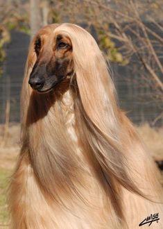 Such a gorgeous Afghan Hound!