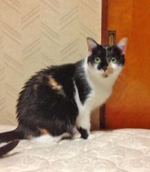 Kit Kat is an adoptable Domestic Short Hair Cat in Wallingford, CT. Kit Kat was surrendered to PCAR when her human was deployed. She has settled in well to her foster home, but would clearly appreciat...