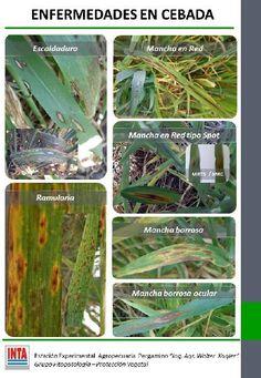 Enfermedades en cebada | INTA :: Instituto Nacional de Tecnología Agropecuaria