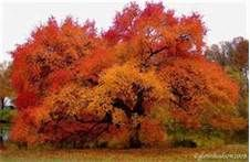 Black Gum Tupelo Tree- Beautiful!!!/ATTRACTS: Downy Woodpeckers. (although we use the white tupelo tree to make out honey)