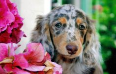 Lucy, my long haired dachshund.  She's as sweet as she looks!