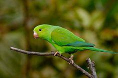 periquito rico_brotogeris tirica Brazilian Birds