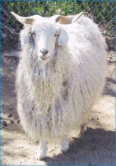 Angora goat. They have wonderful soft wool.