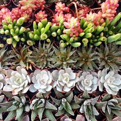 gorgeous shapes and color of succulents