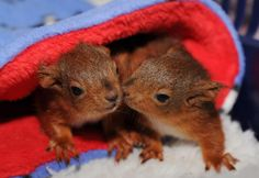 These five-week-old squirrel kittens cosy up in a blanket
