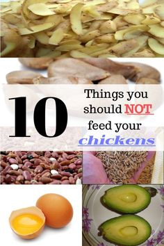 10 Things You Should Not Feed Your Chickens Types Of Chickens, Raising Backyard Chickens, Pet Chickens, Treats For Chickens, Keeping Chickens, Chicken Treats, Chicken Recipes, Building A Chicken Coop, Leftovers Recipes