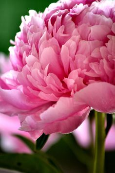 Peonies ...'In The Pink' by Deb Halloran