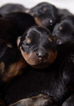 The many things I admire about the Loyal Rottweiler Puppies Fluffy Puppies, Baby Puppies, Dogs And Puppies, Teacup Puppies, Doggies, Pitbull, Hulk, German Dog Breeds, Rottweiler Puppies