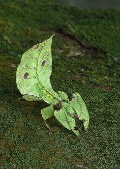 Leaf Insect. #entomology #camouflage