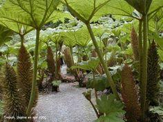 forêt de Gunnera manicata à Trebah Patio Tropical, Tropical Landscaping, Landscaping Plants, Tropical Plants, Unusual Plants, Exotic Plants, Dinosaur Plant, Jardin Luxuriant, Meadow Garden