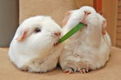 'guinea pigs version of lady and the tramp'