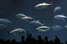Tokyo Aquarium Baffled by Mystery Fish DeathsWorkers at a Tokyo aquarium are scratching their heads after the deaths of dozens of fish that have left just one lonely tuna roaming a once-flourishing tank.The park on Tuesday found the second last fish floating dead in its vast doughnut-shaped enclosure that was once home to nearly 160 fish and among the venue's most popular attractions, said a spokesman for Tokyo Sea Life Park. More info