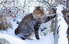 Beautiful Kurilian Bobtail Cat