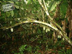 Cultivo de Cacao orgánico. Esmeraldas - Ecuador.