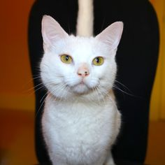 This well-mannered male cat, that is up for adoption. Pretty Cats, Cute Cats, Animal Shelter, Animal Rescue, Kinds Of Cats, Cute Baby Animals, Rescue Dogs, Cats And Kittens, Fur Babies