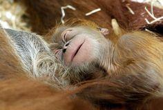 Gioca sul petto della mamma, la stringe, la osserva e si abbandona alle coccole più felici. Questo cucciolo di orangotango si chiama Utan, ha solamente sei giorni ed è, insieme a sua madre (un orangotango di 44 anni), protagonista della storia di una gravidanza difficile a causa dell'e