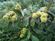 Castanea pumila - chinquapin | Apios Institute | Edible Forest Garden Wiki - Useful Plant Species - Regenerative Agriculture - Edible Landscaping