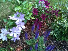 A clematis and salvia combo.
