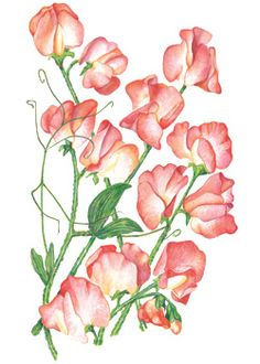 Sweet pea Princess Elizabeth (botanical interests) - prefers a little afternoon shade