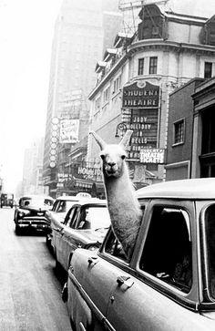 from ClassicPics: lama in Times Square, 1957
