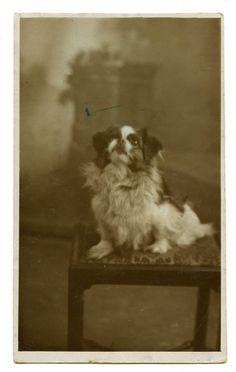 1930s Pekingese Dog Too Too Real Photo Postcard by AuntieGVintage