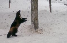 Click on pic and then go to video made of timelapse photos - the wolverine actually plays with the rope!