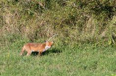 Fox in the green
