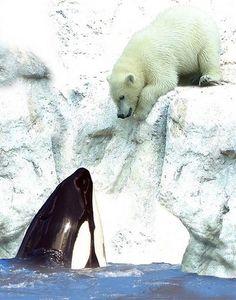 a orca whale saying hello to a polar bear.