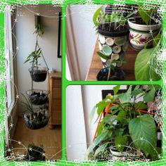 Line Skovborg Vindum 1. juni kl. 12:04 · Redigeret Min hængende have med chili og gendyrk. På væggen min hængende have med peber. Nederst chili og peber, øverst basilikum og gendyrket citron  Dejligt!