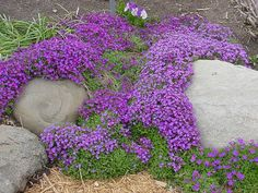 "Rock Cress .. Aubrieta Cascade Purple.  Perennial ground cover, to zone 4, blooms spring to early summer, 4""x24""."