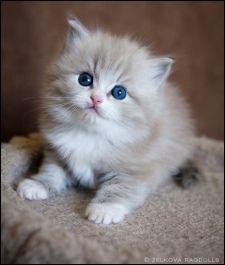 Ragamuffin Cats For Sale In Ohio